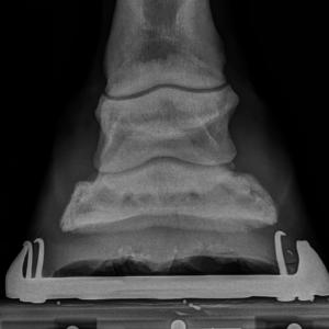 hoof-sidebone-fourways-equine-clinic