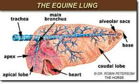 Diagram Of The Equine Heart Diy Enthusiasts Wiring Diagrams