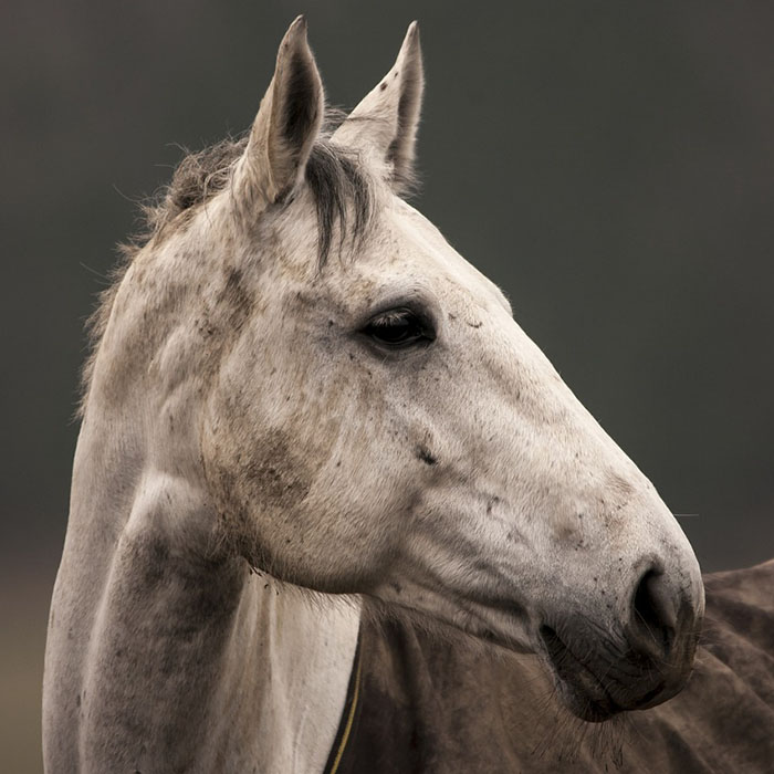 white-horse-fourways-equine