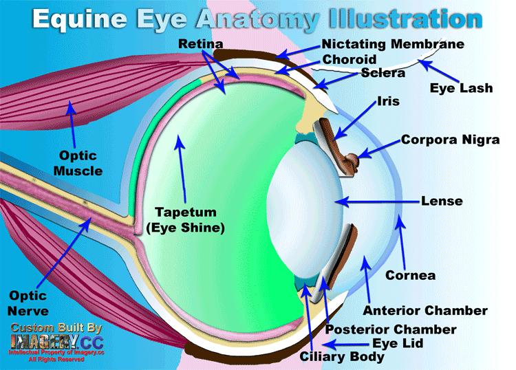 Eye anatomy fourways equine clinic fourways equine clinic eye anatomy fourways equine clinic ccuart Images